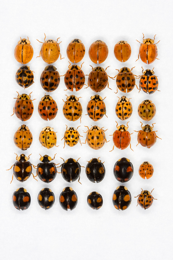 harlequin or asian lady beetle
