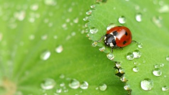 can ladybugs swim do they drown or survive water