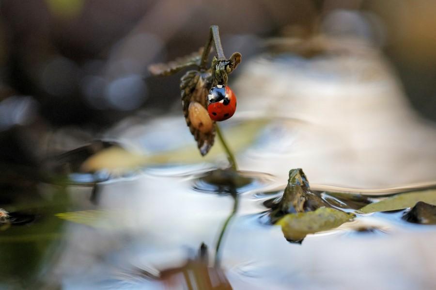 ladybug avoiding water