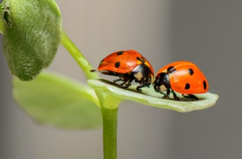 when do ladybugs mate mating and reproduction process