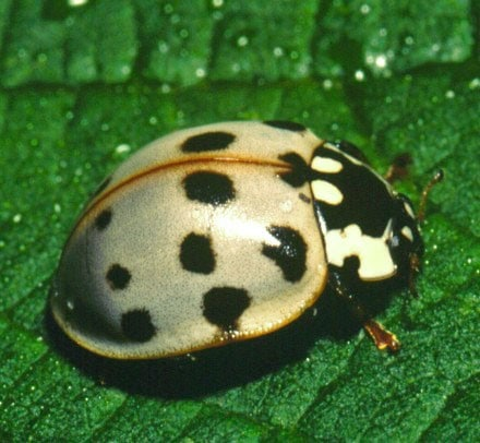 15 spotted lady beetle