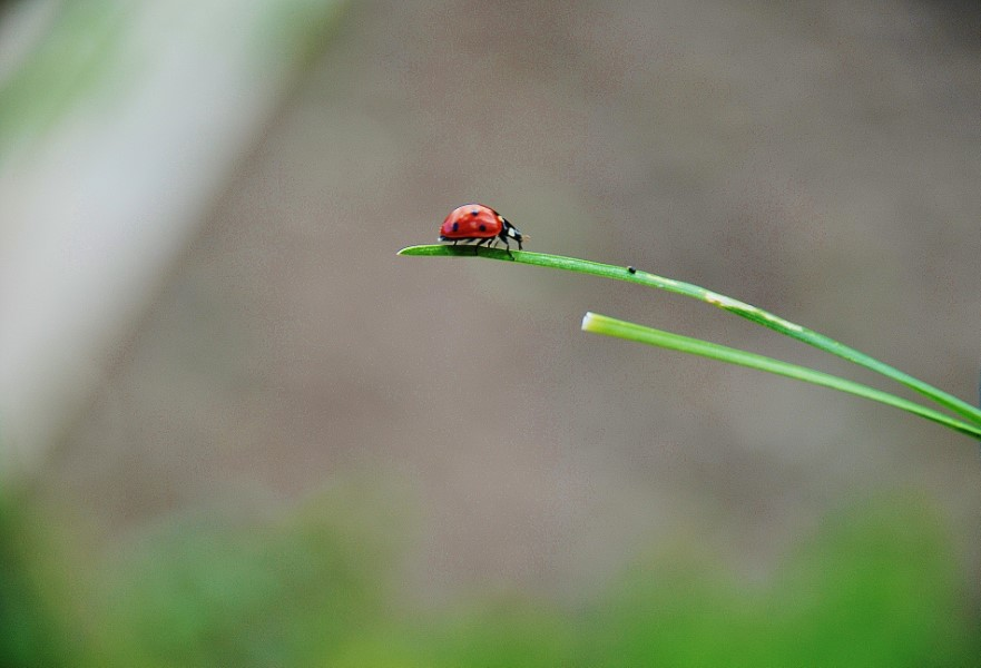 asian lady beetle danger to native ladybug