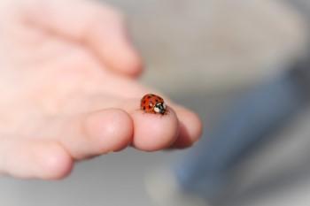 do ladybugs bite
