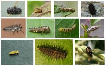 ladybug larvae complete guide with images