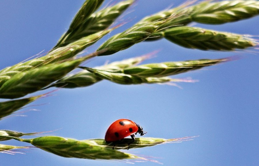 ladybugs save crops from aphid infestation