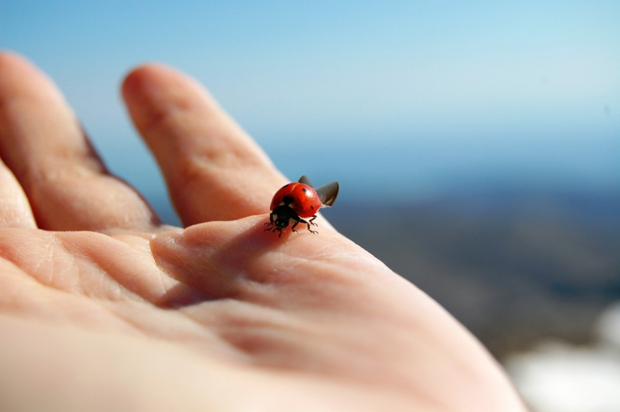 ladybugs pose no threat to humans