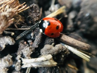male or female ladybug - the differences and how to tell
