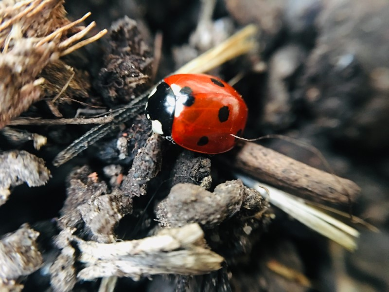 Ladybug Male Or Female The Differences And How To Tell