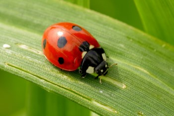what the spots on ladybugs mean