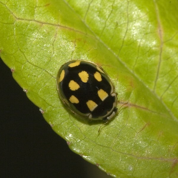 Yellow Ladybug - a Helpful Guide on Which Type or What