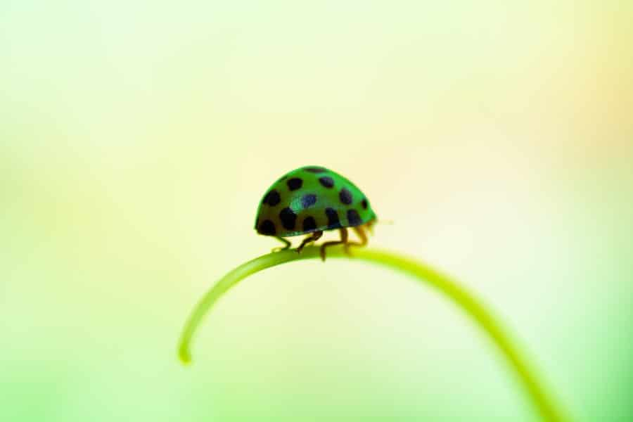 Green Ladybug – Easy Guide and Identifying Them (with Images)