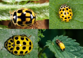 yellow-ladybugs options