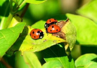 guide to buying ladybugs