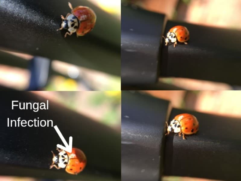asian lady bird beetle with fungal infection