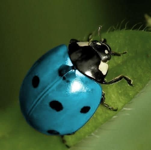 Blue Ladybug - Do They Exist? Which Types and Where. Here ...