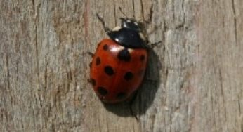 Green Ladybug Easy Guide And Identifying Them With Images
