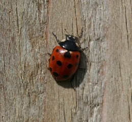 eleven spotted lady beetle