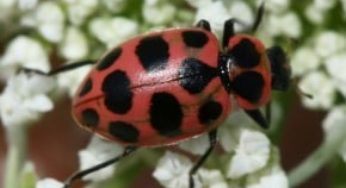 Orange Ladybugs - What Are They? Everything You Need to Know